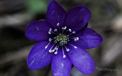 Anemone hepatica - Macro shot on a budget - Spring is in the air (rmphotography.info) Tags: morning autumn summer flower macro nature upload lens relax dawn vinter spring flickr colours afternoon purple image sweden good budget air prayer explore reflect anemone uppsala 18 various capture purpleflower photostream easygoing macrophotography hepatica endoftheday canon50mm earlyintheday rmphotography canoneos550d