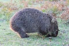 wombat (mr_cheff) Tags: nature animals unique wildlife australia victoria prom vic rare wilsons wombat