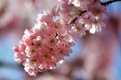 Hanami (zsnajorrah) Tags: flowers nature netherlands explore amsterdamsebos amstelveen ef70200mmf4lis eos600d kersenbloesempark