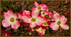 Pink Dogwood (Jerry Jaynes) Tags: flowers tree nc spring northcarolina resort dogwood blooms pinkdogwood blr lakeclub bearlakereserve nikkor1685vr blrspring2010