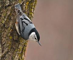 Descent (Slow Turning) Tags: tree bird bark cling southernontario sittacarolinensis