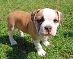 Aramis - Continental Bulldog