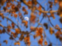 spring moon (geertfotografeert) Tags: spring poplar populier lente almere