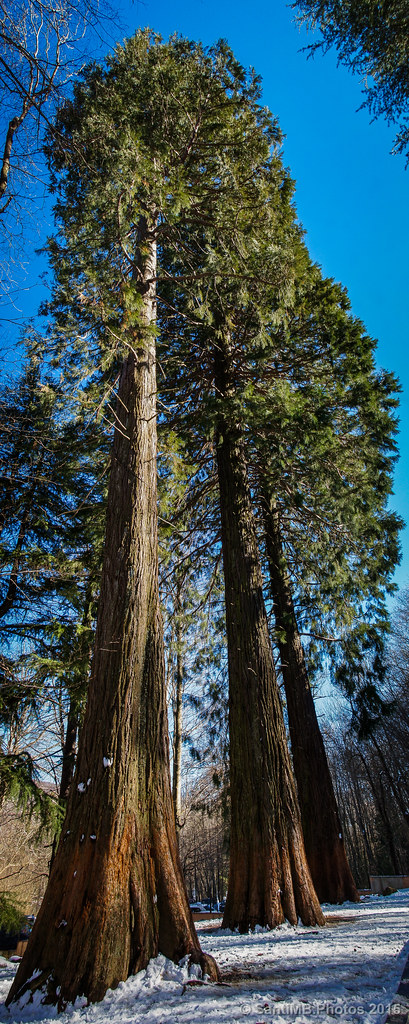 Las sequoias de Can Casades