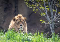 Dog Eater (Rick Bolin) Tags: photography photo photographer photos lion saltlakecity hoglezoo canonfd300mmf4 rickbolin