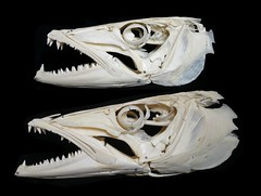 Barracuda Skulls Comparison : S. barracuda & S. afra (JC-Osteo) Tags: fish skeleton skull bones bone poisson barracuda crâne squelette greatbarracuda osteology sphyraenabarracuda sphyraena sphyraenidae sphyraenaafra guineanbarracuda ostéologie jctheil bécune