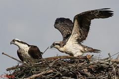 Ospreys - Balbuzards pcheurs (skivoile) Tags: ospreys pcheurs balbuzards