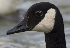 Canadian Goose portrait (ORIONSM) Tags: portrait bird eye beak feather canadian goose