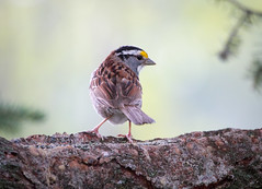 White-Throated Sparrow (timosborne) Tags: whitethroatedsparrow