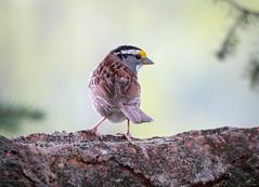 White-Throated Sparrow (timosborne) Tags: whitethroatedsparrow