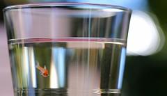 hello world ! (1) (HansHolt) Tags: babyfish fish fry vis visje glass glas pond vijver water reflection reflectie bokeh macro canon 6d canoneos6d canonef100mmf28macrousm
