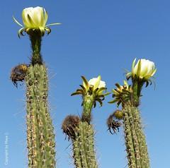 Echinopsis spachiana *    . P1300364-001 (maya.walti HK) Tags: 2016 280716 blten blossoms copyrightbymayawaltihk echinopsisspachiana flickr flores kakteen kaktus kaktusblten panasoniclumixfz200 pflanzen plantas plants
