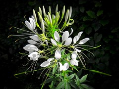 Cleome (Darling Starlings Flying the Nest) Tags: cleome flower white colourfulfountain garden summer august 2016 grownfromseed likelittlespoons spoonflowerchandelier