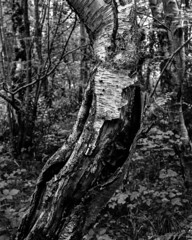 Decaying tree with splitting bark (Hyons Wood) (Jonathan Carr) Tags: bw white abstract black tree monochrome rural landscape decay bark 4x5 abstraction split rotten northeast largeformat toyo 5x4 fomapan ancientwoodland hyonswood