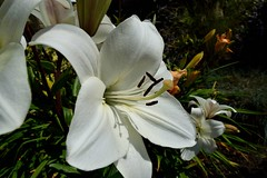 Garden Lily. (padge83) Tags: nikon d5300 flower macro westyorkshire lily white garden
