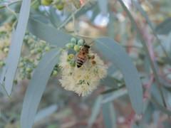 Bee + eucalyptus bloom (EllenJo) Tags: pentaxqs1 pentax july 2016 ellenjoroberts ellenjo eucalyptus bees blooming yard home