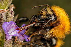 Feeding Common Carder Bee (Dalantech) Tags: macro nature insect feeding lavender bee topaz macrophotography carderbee topazlabs
