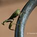 Morning mantis