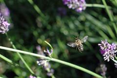 Vol d'abeille (didierdere) Tags: fleurs reflex nikon d70 jardin abeille insectes
