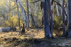 Early morning Roo (leonhallza3) Tags: oz aussie tourism travel morning early animal outback bush farm nsw roo kangaroo australia