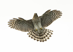 Juvenile Cooper's Hawk Flying Overhead (Thomas Muir) Tags: tommuir accipitercooperii ohio woodcounty perrysburg juvenile flying brood fledgling