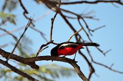 Gonoloek africano (silviasalvi) Tags: africa namibia nature bird red uccello gonoloekafricano nikond7000