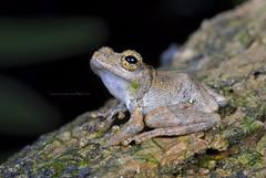 面天樹蛙 Chirixalus idiootocus  ( Kuramato & Wang, 1987) [特有] (Taiwan-Awei) Tags: 面天樹蛙 樹蛙 自然 生態 taiwanawei awei 林敬偉 小動物