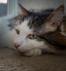 Close Cat Portait (Tilly the 3-legged cat) (Olympus OM-D EM5II & Lumix 12-32mm Pancake Zoom) (1 of 1) (markdbaynham) Tags: tilly 3legged cat pet cute lumix 1232mm pancake zoom olympus feline omd em5 em5ii csc evil mirrorless lumixer oly mft m43 m43rd micro43 micro43rd