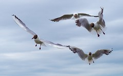 A flock of seagulls #3 (horschte68) Tags: 20160716 183419 seagull aflockofseagulls sommer summer ostsee balticsea inselusedom isleusedom eyeinthesky sky clouds cloudysky holiday ferien vacation urlaub tier vogel outdoor germany deutschland