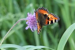 Nsselfjril 'Aglais urticae' (P upptcktsfrd i naturen) Tags: blberga 2016 juli nsselfjril aglais papilionoidea aglaisurticae ktadagfjrilar praktfjrilar nymphalidae vinterpraktfjrilar nymphalinae nymphalini