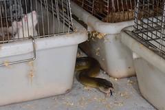 Rat Shed Raider (shaneblackfnq) Tags: water python liasis mackloti shaneblack snake reptile rodent rat garage shed tropics tropical wonga beach mossman fnq far north queensland australia daintree river