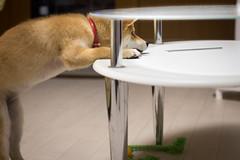 Yotsuba365 Day52 (Tetsuo41) Tags: dog shibainu yotsuba