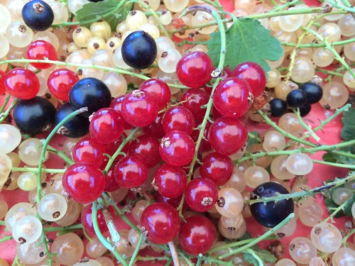 Red White & Black Currants Jul 22, 2016 (8)