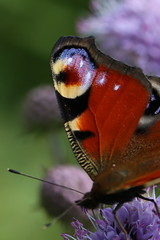 Wing details (liisatuulia) Tags: neitoperhonen porkkala nymphalisio peacock butterfly insect purtojuuri