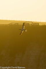 Gannet (Wild About.......) Tags: 1d4 birds british fauna flightshot gannet morusbassanus nature naturephotography rspbbemptoncliffs sunset uk unitedkingdom wildlife yorkshire