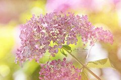 Hydrangea arborescens 'Invincibelle Spirit' (Jacky Parker Floral Art) Tags: hydrangea arborescens invinciblespirit shrub flowers pink horizontalformat selectivefocus focusonforeground closeup perennial nopeople outdoors summer2016 sunshine delicate freshness fragility dainty floralart beautyinnature floralfriday flowerphotography macrophotography naturephotography uk nikond750