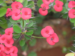 Botanical Garden , Ooty, India (Pixelogie) Tags: pink flowers ooty nature leaves foilage pretty petals