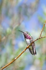 Call Me Calliope (DeVaughnSquire) Tags: calliope hummingbird calliopehummingbird nature wildlife birds smallbirds beautiful feathers red perched tiny small holidays alberta canada