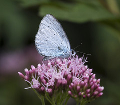 Faulbaumbluling? , NGID1810044152 (naturgucker.de) Tags: ngid1810044152 naturguckerde faulbaumblulingcelastrinaargiolus weinstadt mhlhfle cvolkerherdtle