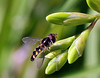 Hover Fly on Freesia buds (Siene Browne) Tags: closeup outdoors hoverfly greenbackground freesia nature syrphidae syrphid flowerfly flower fly