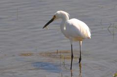 Snowy Egret (Chuck Jensen) Tags: wa puyallup pw