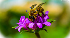 se (1 of 1) (Dbrntei Photography) Tags: macro flower bee horne hornet animal small plant outdoor landscape awesome bit insect depth field