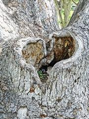 Heart of the Tree 3-20-15 (inkknife_2000 (6.5 million views +)) Tags: usa tree landscape spring heart bark botanicalgarden ucr heartshapes treeknot dgrahamphoto