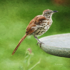 Painted Thrasher (DigiDi) Tags: painterly backyard thrasher greatphotographers digidi avianexcellence magicunicornverybest untouchabledream extraordinarilyimpressive