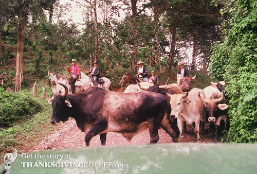 Cows on a Nicaraguan Country Road