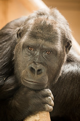 2015-03-12-14h09m22.BL7R5451 (A.J. Haverkamp) Tags: germany zoo gorilla krefeld dierentuin miliki westelijkelaaglandgorilla canonef100400mmf4556lisusmlens httpwwwzookrefeldde pobromagnefrance dob20022006