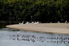 layers_of_life #Florida #wildlife #birds (NetAgra) Tags: reflection bird pelicans heron florida wildlife pelican waterfowl sanibel captivaisland dingdarlingnwr