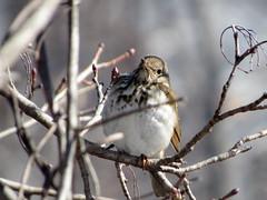 Hernit Thrush (Keith Chamberlin) Tags: birding hermitthrush backyardbirds nhbirds ashlandnewhampshire