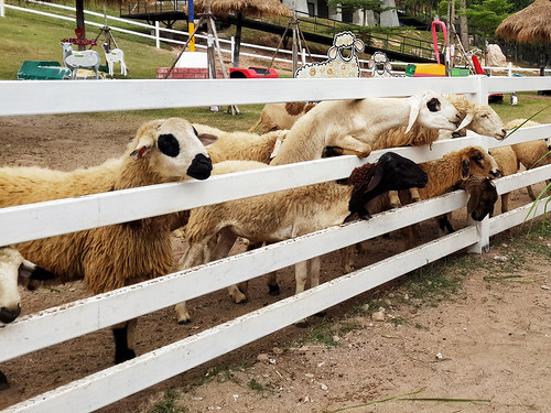 Khao Kheow Sheep Farm