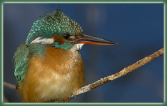 Kingfisher (Dave @ Catchlight Images) Tags: nature spring kingfisher migration